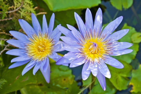 Two lotus flowers in pond photo