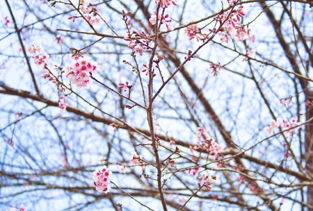 Wild Himalayan Cherry  Prunus cerasoides Stock Photo - 13577554