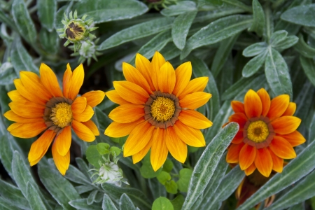 Gaillardia flowers commonly known as blanket flower photo