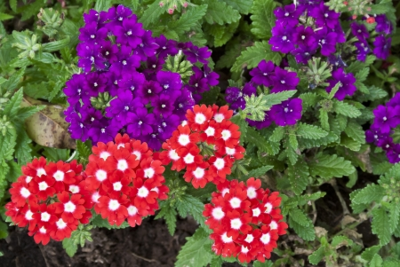 Beautiful red and purple Verbena flowers in a garden