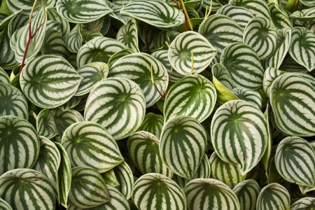 Watermelon peperomia leaves Stock Photo - 14015231