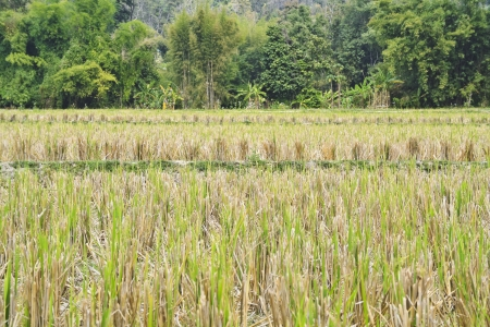Agriculture landscape view of rice fields photo