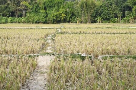 tortillera: Dique de tierra en campos de arroz