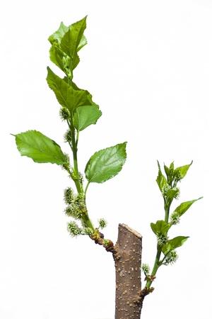 boom kappen: Moerbeiboom snijden geïsoleerd op witte achtergrond
