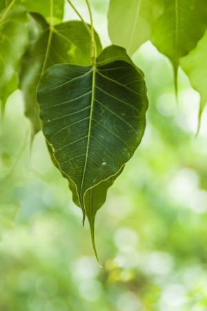 Cordate shape of Sacred Fig leaves Stock Photo