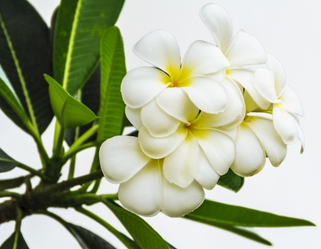 White Plumerias flowers on white background Stock Photo