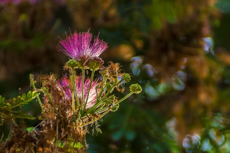 androecium: Couroupita guianensis flower
