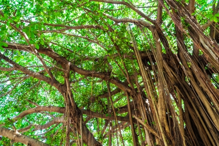 Arbor of old banyan tree