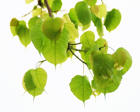 ficus: Sacred Fig leaves isolated on white background