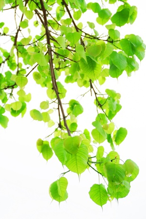 Sacred Fig leaves isolated on white background photo
