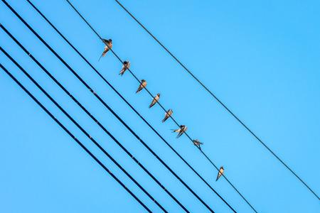passerine: Gruppo di passeri, una famiglia di piccoli passeriformi, sono su una linea elettrica Archivio Fotografico