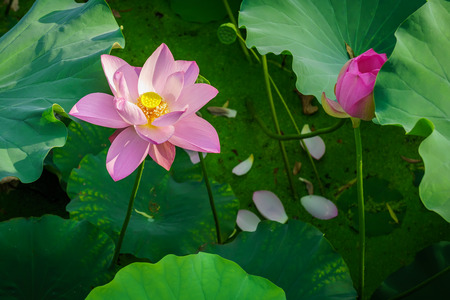 nelumbo nucifera: Conceptual image of the Nelumbo nucifera flowering plant and its fallen leaves