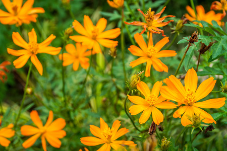 meadowland: Cosmos is native to scrub and meadowland in Mexico