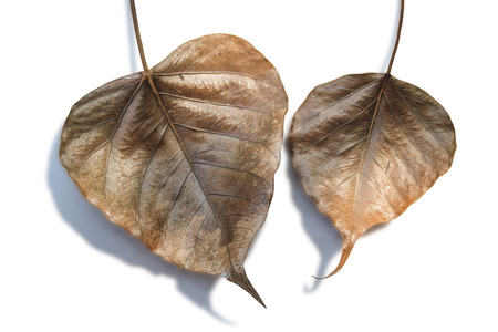 tip of the leaf: Dry leaves of a Ficus religiosa or Sacred Fig isolated on white background