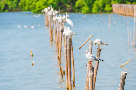 migrate: All seagulls birds migrate from northern region of Asia to Thailand  Gulls or seagulls are seabirds of the family Laridae in the sub-order Lari