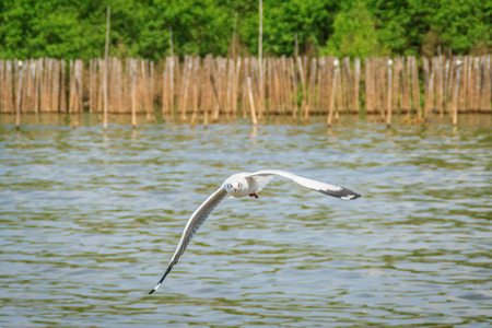 A flying seagull hovers over sea near by mangrove forest  Gulls or seagulls are seabirds of the family Laridae in the sub-order Lari