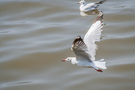 A flying seagull hovers over sea  Gulls or seagulls are seabirds of the family Laridae in the sub-order Lari Stock Photo