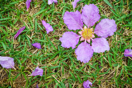 androecium: Lagerstroemia speciosa flowers drop on lawn in garden