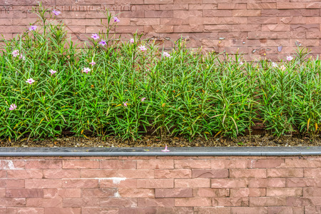 fever plant: Ruellia tuberosa is also known as Minnie Root, Fever Root, Snapdragon Root and Sheep Potato  This plant is a species of flowering plant