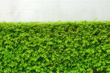 Murraya paniculata tree with white ceramic tiles wall background