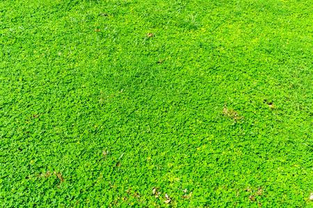 arachis: Arachis pintoi is a forage plant native to Cerrado vegetation in Brazil