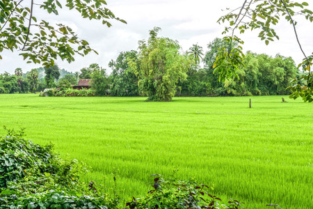 The nature of rice field in Thailand photo
