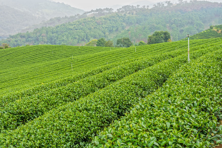 The herb tea plant or Camellia sinensis field on Mae Salong mountain in Chiang Rai, Northern Thailand photo