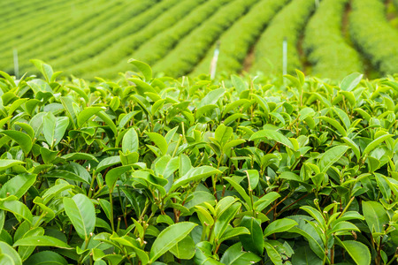 The herb tea plant or Camellia sinensis field on Mae Salong mountain in Chiang Rai, Northern Thailand