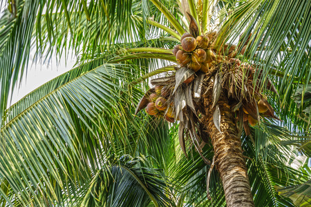 Coconut tree with coconut fruits Standard-Bild