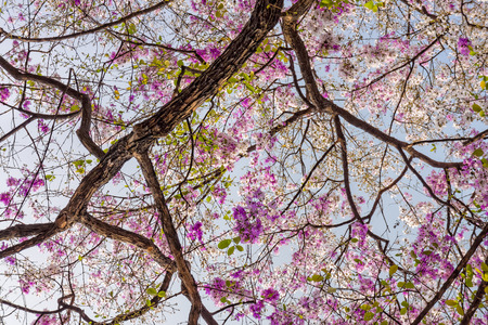 androecium: Lagerstroemia speciosa tree with pink flowers Stock Photo