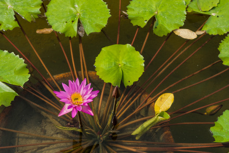 nymphaea: Nymphaea caerulea flower is a water-lily in the genus Nymphaea plants