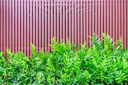 polypodiaceae: Microsorum punctatum fern and batten wooden fence