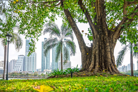 big tree: Big Ficus religiosa tree at public park with building background in Bangkok city Stock Photo