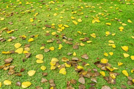 religiosa: Fall foliage of Ficus religiosa leaves on green lawn