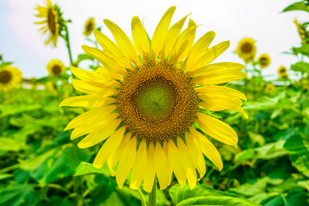 helianthus annuus: Sunflowers or Helianthus annuus field. It  is an annual plant in the family Asteraceae with a large flower head.