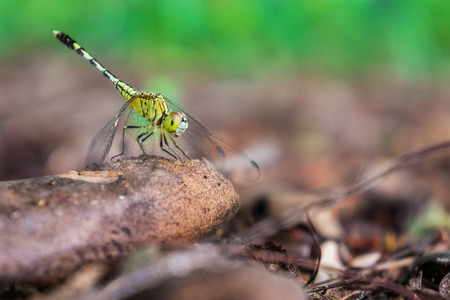 anisoptera: A green dragonfly holding on a tree branch in a forest. It is an insect belonging to the suborder Anisoptera.