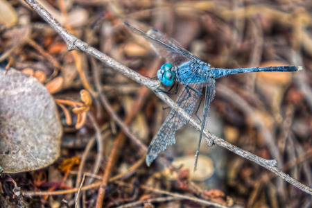 anisoptera: A blue dragonfly holding on a tree branch in a forest. It is an insect belonging to the suborder Anisoptera. Stock Photo