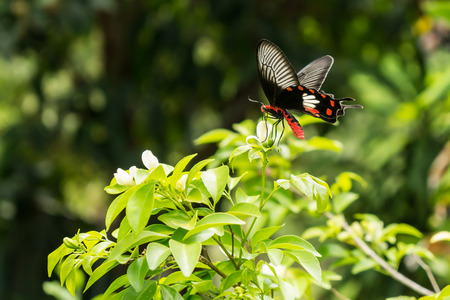 hindwing: A butterfly holding on leaf of tree in natural forest is black and red colors. It is finding some sweet food.