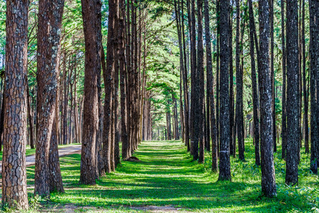 pinaceae: Landscape view of pine trees in Suan son Bo Kaeo botanical garden in Northern Thailand