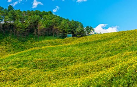 blossoming yellow flower tree: Natural landscape view of Tithonia diversifolia field on mountain. This plant is a species of flowering plant in the Asteraceae family.