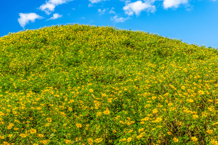 blossoming yellow flower tree: Natural landscape view of Tithonia diversifolia field on mountain and blue sky. This plant is a species of flowering plant in the Asteraceae family.