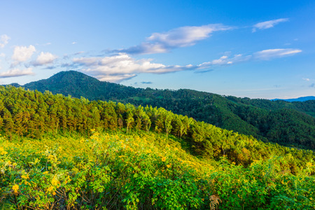blossoming yellow flower tree: Natural landscape view of Tithonia diversifolia field and mountain ranges with beautiful blue sky in the evening Northern Thailand