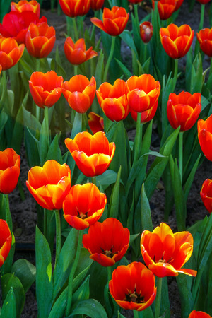herbaceous: Beautiful orange Tulip in garden. It is an herbaceous herb with showy flowers. Stock Photo
