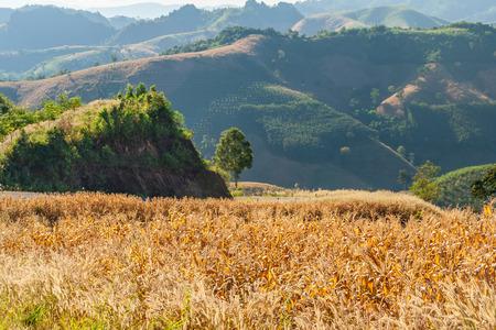 planta de maiz: Campo de maíz es una planta cultivada por la comida en la montaña en la provincia de Nan campo de Tailandia Foto de archivo