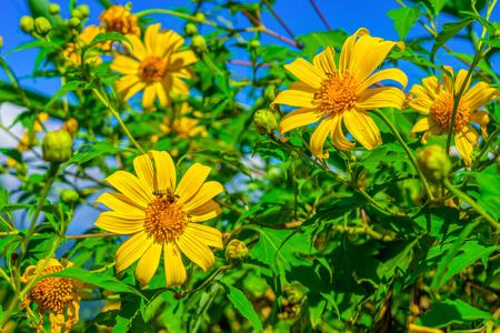 blossoming yellow flower tree: Yellow Tithonia diversifolia flowers field in Thailand tropical forest. The plant is a species of flowering plant in the Asteraceae family. Stock Photo