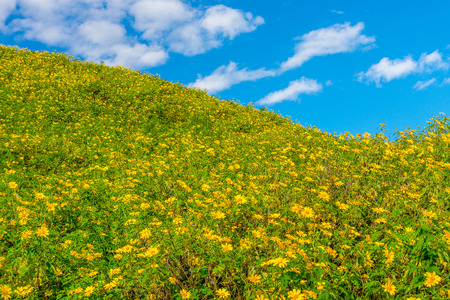 blossoming yellow flower tree: Landscape view of Tithonia diversifolia field on natural mountain hill with blue sky. This plant is a species of flowering plant in the Asteraceae family. Stock Photo