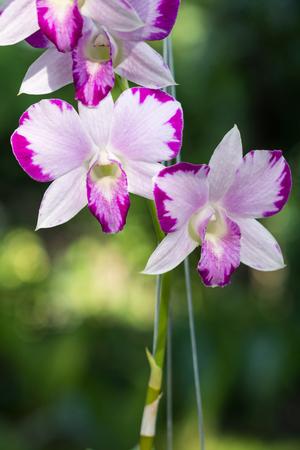 mutation: Beautiful Dendrobium Pink Splash Mutation flower. The hybrid orchid plant in Thailand. Stock Photo