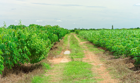 esculenta: Landscape view of dirt road in Manihot esculenta field. The area is cultivated land in rural of Thailand, Southeast Asia. Stock Photo