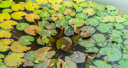 nymphaea: Nymphaea flower buds and green leaves in a pond. It is an aquatic plant.