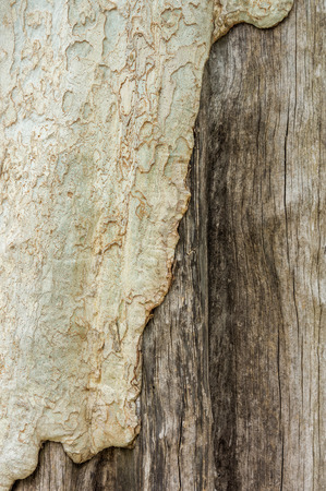 woodgrain: Bark of Terminalia ivorensis tree. It is a pale yellow-brown in colour. Stock Photo